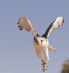 8Q2A1140_DxO (maskirovka77) Tags: dubai desert hunting beak raptor owl falcon hood sharjah unitedarabemirates falcons raptors avian barnowl hunt birdsofprey lure birdofprey falconry talons natureconservancy stooping falconeer peregrinefalcon gyrfalcon pergrine falconexperience alshuwaib arabiandeserteagleowl royalshaheen clawsarabiandeserteagleowldubainatureconservancypergrineraptorsroyalshaheenbirdofpreybirdsofpreyfalconfalconexperiencefalconsowlraptoralshuwaibsharjahunitedarabemirates