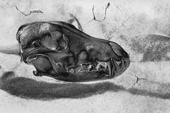 Coyote Skull (Mulewings~) Tags: coyote nature skulls edited bones predator
