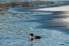 (evisdotter) Tags: winter light snow bird ice reflections is fågel storskrake sooc
