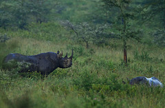 Black Rhino mating pair (Rainbirder) Tags: kenya lakenakuru dicerosbicornismichaeli eastafricanblackrhinoceros rainbirder