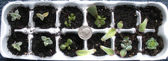 Propagation tray (heatherdawnplants) Tags: plants jadeplant succulents crassula houseplants ovata propagation
