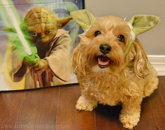 Happy Star Wars Day 2016! (yourdesignerdog) Tags: dog pets cute dogs smiling tongue wednesday out photography star blog costume day all with yoda you designer wordpress may be wars posts fourth wordless ifttt