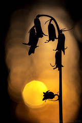 Glisten (Wizmatt) Tags: uk flowers blue sunset plant flower macro art nature silhouette yellow forest woodland print photography golden evening glow bell bokeh matthew wildlife balls british bluebell hyacinthoides sigma150mm wisby nonscripta canon70d