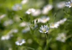 Little white stars (Varvara_R) Tags: flowers white macro nature grass bokeh sunny naturescarousel