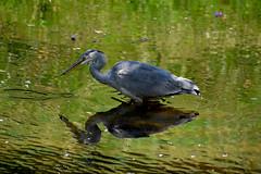 Heron (Glenn Pye) Tags: bird heron nature birds nikon wildlife seftonpark d7200 nikond7200