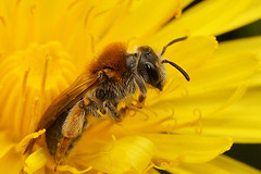 Andrena haemorrhoa, female (henk.wallays) Tags: