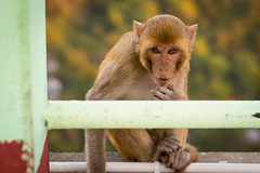 Inspecting the visitors (Rico the noob) Tags: travel nature animal animals monkey dof bokeh outdoor myanmar 2015
