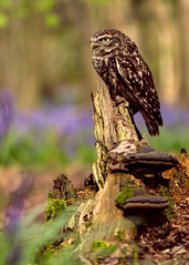 The Little Owl Athene nocturne (Robert (Bob) Howell) Tags: birds bluebells woods colours little owl prey