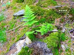 Naturwunder ... hier in altem Baumstumpf (warata) Tags: germany deutschland pflanze farn moos fichte schwaben 2016 badenwrttemberg tannheim swabia sddeutschland southerngermany baumstumpf oberschwaben upperswabia schwbischesoberland tannheimwrtt