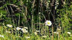 nature (Yasmine Hens) Tags: green nature fleur landscape europa flickr belgium sony ngc vert campagne extrieur blanc namur hens yasmine wallonie iamflickr flickrunitedaward sonyrx10m3 hensyasmine