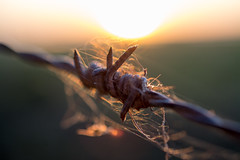 Entangled (jarnasen) Tags: morning light copyright sun macro nature field closeup sunrise hair out dawn wire nikon dof sweden outdoor pov perspective short barbedwire handheld sverige freehand webb d7100 nikon40mmf28 jarnasen