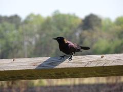 Rappahannock River Valley NWR - Hutchinson Unit (jaci starkey) Tags: birds virginia wildlife rivers 2016 wildliferefuges