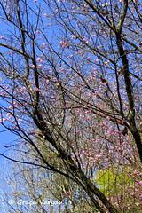 Plum Blossom ( Graa Vargas ) Tags: plumblossom graavargas flordaameixeira flowers 2016graavargasallrightsreserved 17007180716
