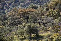 Green tones (ramosblancor) Tags: paisajes naturaleza verde green primavera nature forest landscapes nationalpark spring tones monfrage extremadura encinas holmoak parquenacional quercusilex tonos encinares mediterraneanforest montemediterrneo