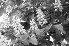 138/2016 Chestnuts (puste66blume) Tags: bw chestnut sw blten kastanie alpha58 inesbilder puste66blume 3662016