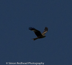 Red Kite (Simon Redhead Photography) Tags: red kite canon 7d canon70200 cissbury sussexbirds