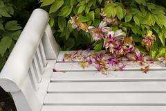 Peonies, adieu! (suzanne.gibson) Tags: flower bench outdoor botanicalgarden