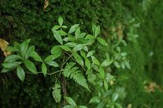 Yakushima #8 (k_t) Tags: green forest cedar yakushima mossy yaku