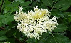 2016-05-23 Villers (10)sureau (april-mo) Tags: flower tree whiteflower wildflower sureau fleurdesureau