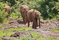 David Sheldrick Elephant Orphanage 8 (Grete Howard) Tags: safariinafrica safari whichsafaricompany bestsafaricompany calabashadventures travel holiday africa kenya elephants davidsheldrickwildlifetrust elephantorphanage wildelife animals nairobi