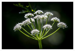 untitled_(339_of_880).jpg (kishwphotos) Tags: travel flowers england plants holiday nature whiteflower unitedkingdom dorset gb wildflower weymouth naturalworld idunknown