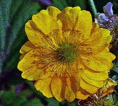 Yellow dream (krys.mcmeekin) Tags: yellowflower flora texture garden nikond750 outdoor