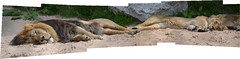 Lazy Lying Lions (GadgetHead) Tags: lions lion chesterzoo cheshire joiner panorama widescreen nikon nikond3100 d3100 dslr northwest north northwestengland england uk unitedkingdom gb zoo 2016