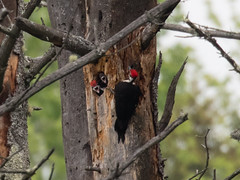 Pileated Woodpecker chicks (Laura Erickson) Tags: birds maine places species dryocopuspileatus pileatedwoodpecker lincolncounty piciformes picidae