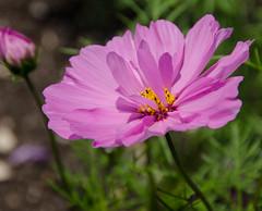 Cosmos (Sarah Anne Mac) Tags: pinkflower cosmos flowersarebeautiful