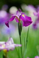 () /Iris ensata (nobuflickr) Tags: iris flower nature japan kyoto    irisensata heianjingushrine japanesewateriris awesomeblossoms    20160604dsc01552
