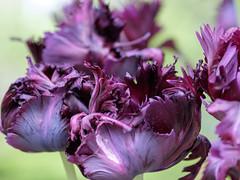 Parrot tulips (Wouter de Bruijn) Tags: flowers flower holland nature dutch amsterdam spring bokeh parrot depthoffield tulip fujifilm botanicalgarden hortusbotanicus parrottulip xt1 hortusamsterdam fujinonxf90mmf2rlmwr