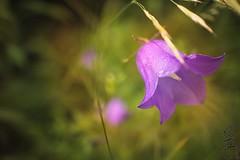 From Spring to summer (sven_breitkopf) Tags: summer flower color green grass germany eos prime thringen spring jena f2 m3 22mm primelens apsc mirrorless