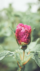 Sad little rose (Heidi H. Alakoski) Tags: flower rose 35mm drops outdoor sony sigma drop a77