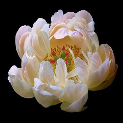 Peony O (Pixel Fusion) Tags: flower macro nature flora nikon peony d600