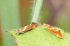 Micro moth Metalampra italica (Steve Balcombe) Tags: uk moth micro wiltshire italica bentleywood metalampra