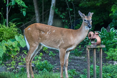 I Believe I Can Fly (GEM Studios) Tags: birdfeeder buck deer nature outdoors