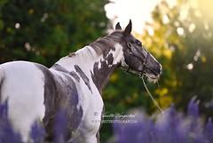 Golden Hour (Hestefotograf.com) Tags: summer horse white norway caballo cheval cavalo pferd stallion whitehorse equine equus paard purarazaespanola hestefotograf
