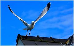 Up On The Roof (lukiassaikul) Tags: wildlifephotography wildanimals urbanwildlife wildbirds largebirds birds seagull herringgalls sky fly flight wings bluesky
