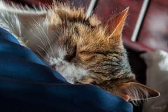 (franciscayermany) Tags: sun cute sol animal cat nikon sleep ears gato dormir nikond3200 orejas