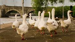 En avant toute! (Yasmine Hens) Tags: bridge water birds river lumix eau europa flickr belgium ngc panasonic jambes namur fleuve hens yasmine wallonie iamflickr flickrunitedaward panasonicdmcgx8 hensyasmine