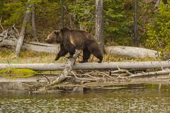 Furry logger (ChicagoBob46) Tags: grizzlybear grizzly grizz bear yellowstone yellowstonenationalpark nature wildlife
