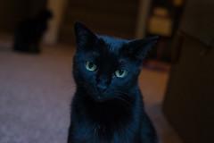 Oscar Again (MikeBrowne) Tags: blackcat fujifilmxt1 oscar cat kitty bokeh depthoffield lowlight portrait dutchtilt