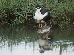 Black-necked Stilt with her chicks (stonebird) Tags: summer himantopusmexicanus july saltmarsh mudflat saltpan stonebird blackneckedstilts areab ballonawetlandsecologicalreserve img0725
