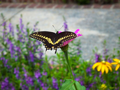 Summertime Love (Hannah Underhill) Tags: insect nature gardening flowers butterfly memphis tennessee seasonal