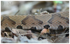 Northern Copperhead - Carbon County (PA) (BROAD-WINGED BIRDING) Tags: snake july copperhead 2016 carboncounty herping northerncopperhead