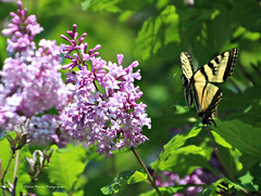 Jeu du Tigré / Swallowtail play (1-2) (deplour) Tags: tree fleurs butterfly explore papillon lilac tigré swallotail inexplore lillas explorez
