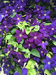 Waukesha WI - flowers - blue Clematis (BlackShoe1) Tags: waukeshacounty wis wi wisconsin waukesha blue clematis flower