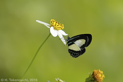 Psychonotis sp. (?) (Hiro Takenouchi) Tags: butterflies indonesia insect butterfly schmetterling papua wildlife