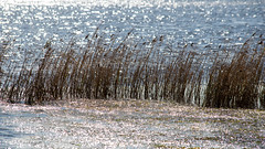 Waterscape at Long Jetty (Merrillie) Tags: natural nikon nature australia d5500 nswcentralcoast newsouthwales light nsw reeds centralcoastnsw lake photography landscape outdoors waterscape water centralcoast longjetty outdoor tuggerahlake