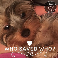 You saved me, clearly. (itsayorkielife) Tags: yorkiememe yorkie yorkshireterrier quote